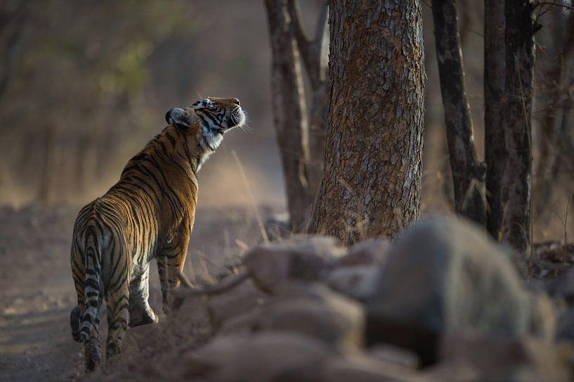 Keeping close eyes on the leopard van Koen Hoekemeijer