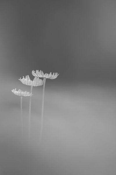 Zwart/wit hazepootjes van Daan de Vos