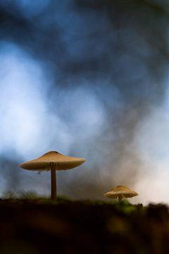 Two mushrooms on forest floor sur Mark Scheper