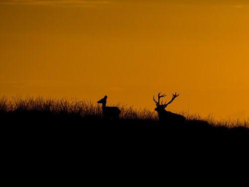 edelherten met zonsondergang van