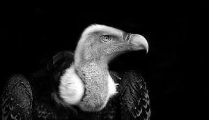 Vale gier, zwart wit fotografie