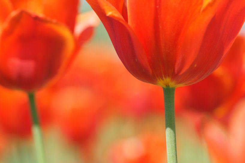 Red Tulips van Carla Mesken-Dijkhoff