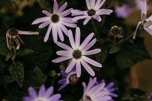 Klein paars tuinbloempje