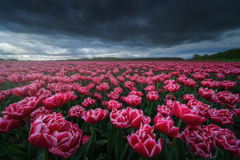 Roze Tulpen van Albert Dros