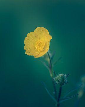 Dotterblume von Steffen Peters