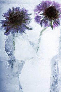 Tournesol dans la glace 1 sur Marc Heiligenstein