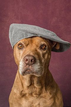 Lieve oude Pitbull portret hond met een petje op  van R Alleman