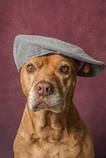 Lieve oude Pitbull portret hond met een petje op