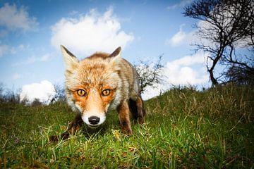 nieuwsgierige vos van Pim Leijen