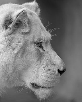 Lionne blanche de près sur Patrick van Bakkum