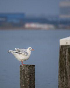 Gull on wooden beachpole