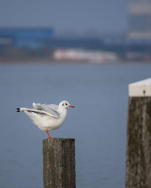 Gull on wooden beachpole von Kim de Been