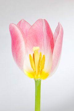 Rosa Tulpe von Dennis Claessens