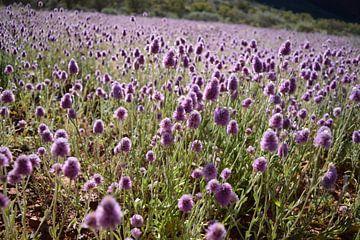 Paarse bloemen Kata Tjuta von Britt Lamers