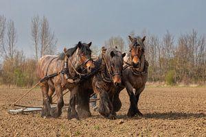 Trekpaarden van Bram van Broekhoven
