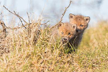 Vos | Twee nieuwsgierige jonge vosjes in de duinen 2 van Servan Ott