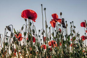 Poppies in Mechelen