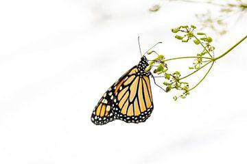 Monarch-Schmetterling von Petra Brouwer