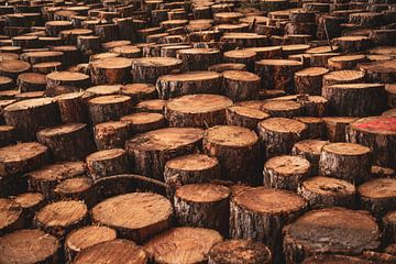 Stapels hout in de duinen van Schoorl (houtkap) van