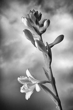 Hosta in Schwarz und Weiß von Jan Brons