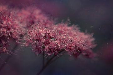 Rosa Blume von Anam Nàdar