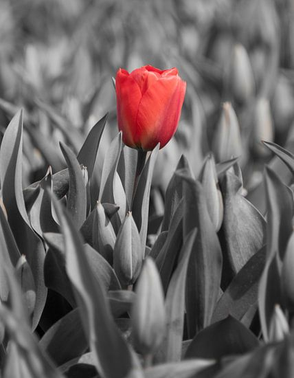 Tulpen 2015 - Red lady van Alex Hiemstra