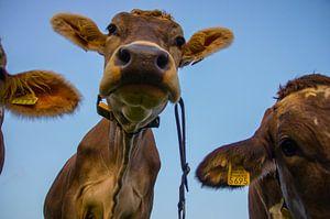 """""""Nieuwsgierigheid"""" van Zwitserse koeien. van"""