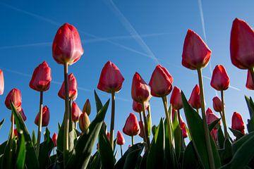 Rode tulpen in de ochtendzon sur Arjen Schippers