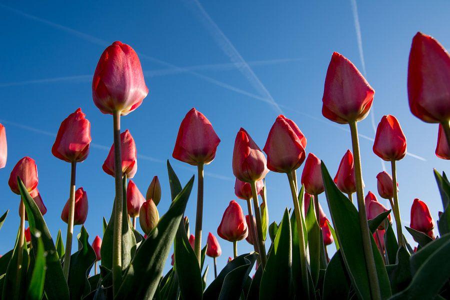 Rode tulpen in de ochtendzon van Arjen Schippers