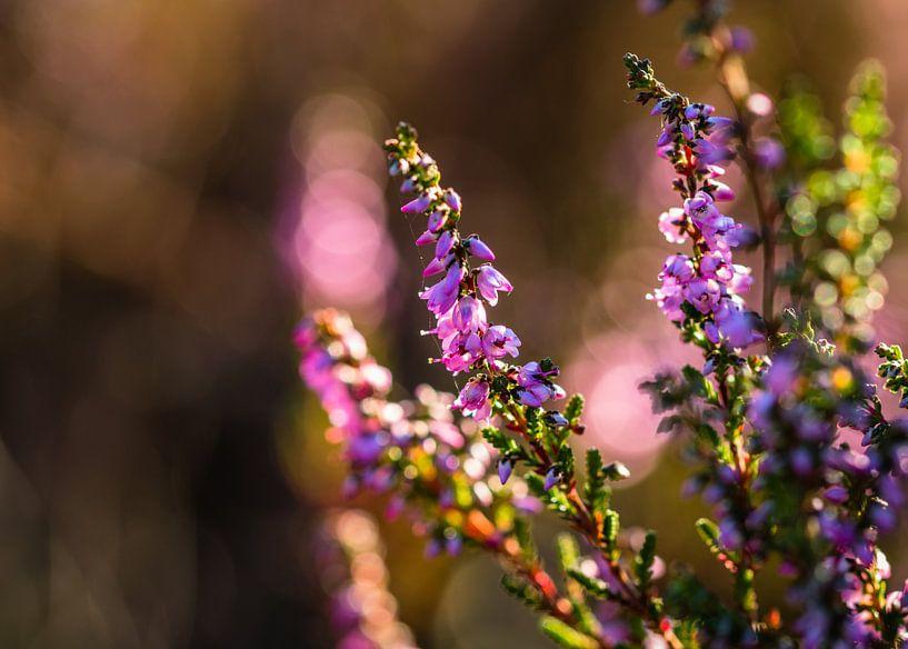 Bloeiende Heide van William Mevissen