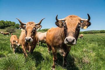 Les vaches Aubrac von gerald chapert