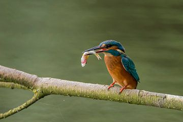 IJsvogel met vangst van Wim Kanis