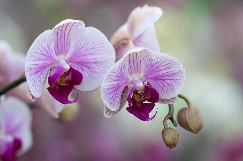 Orchidee (Orchideae) van Tamara Witjes