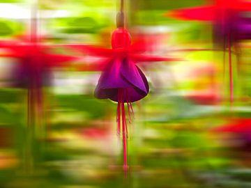 Fuchsia von Pa. Wowitto