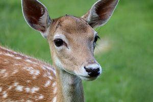 Een jonge Hinde in het gras van Callista de Sterke