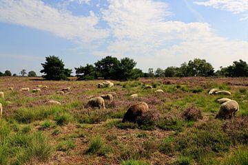 Schafherde auf der blühenden Heide von Koen van de Laar