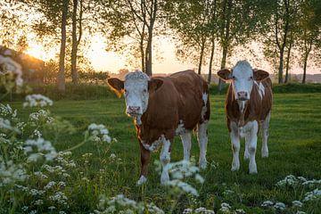 Kühe in der Brugse Ommeland (Damme, Belgien) bei Sonnenuntergang von Nele Mispelon
