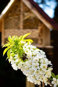 Kirschblüte vor Wildbienenhaus von Martin Haunhorst
