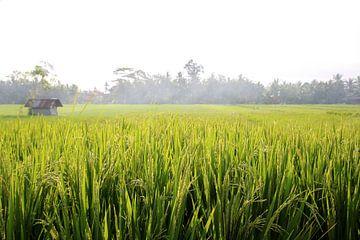 Reisfeld van Iris Volkmar