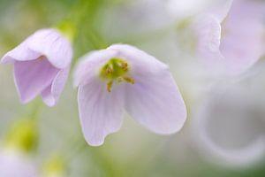 Teer paarse Pinksterbloem