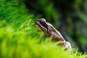 Kikker op groen gras