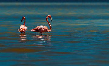 Amerikaanse flamingo van Maarten Verhees