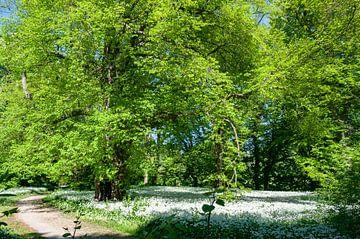 Wilde knoflookbloesem in het Putbus-kasteelpark van GH Foto & Artdesign
