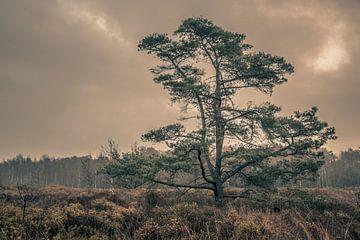 Machtige denneboom van Geert-Jan Timmermans