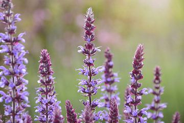Paarse bloemen in een veld met zonlicht van Evelien Doosje