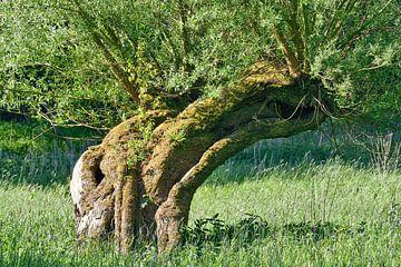Korbweide (Salix viminalis) am Niederrhein von Peter Eckert