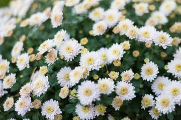 Witte Chrysant van Yorrit v.d.Kaa