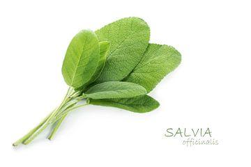 vers groen blad van salie, Salvia officinalis, geïsoleerd met kleine schaduw op een witte achtergron van Maren Winter