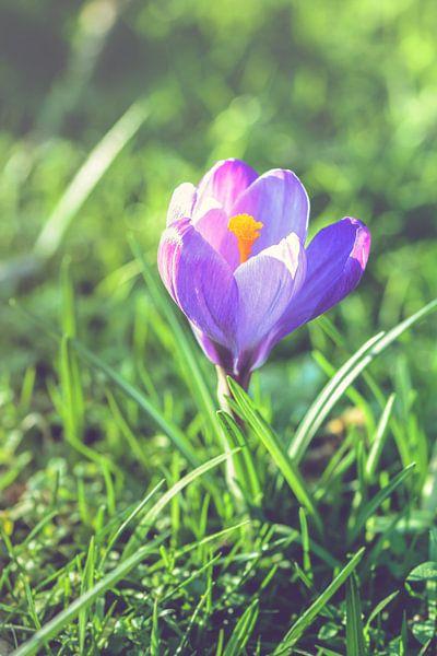 Purple crocus (crocus sativus) van Alessia Peviani