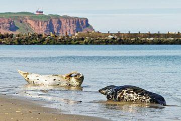 Kegelrobben am Strand der Nordseeinsel Helgoland